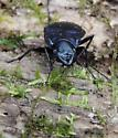 beautiful blue/purple beetle in the basin - Dicaelus purpuratus