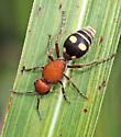Dasymutilla quadriguttata