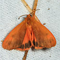 Orange Holomelina - Virbia aurantiaca