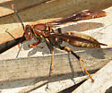 P bahamensis - Polistes bahamensis - male