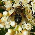 Diptera - Gonia