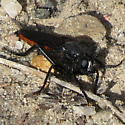 Black and red robber fly with white between eyes - Ospriocerus