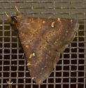 What type of moth? - Hypenula cacuminalis