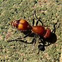 Velvet ant - Dasymutilla gibbosa - female