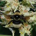 Bumble Bee - Bombus auricomus - female