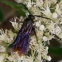 Blue Winged Digger Wasp  (Scolia dubia).   - Scolia dubia - male