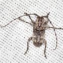 Long-horned Beetle - Ecyrus dasycerus
