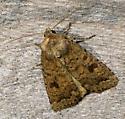 Unknown Moth - Caradrina morpheus