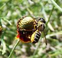 Bee - Megachile policaris - female