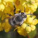 Digger Bee - Anthophora