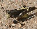 black and yellow grasshopper - Arphia conspersa - male
