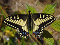 Butterfly - Swallowtail? - Papilio zelicaon
