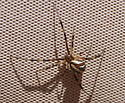 SoCal Widows - Latrodectus hesperus