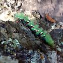Maybe an Io Moth? - Automeris cecrops
