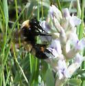 Bombus - Bombus nevadensis - female