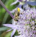 Megachilidae? - Megachile rotundata