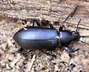 A Beetle - Alobates pensylvanica