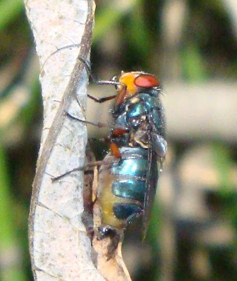 Colorful fly? - Cochliomyia macellaria