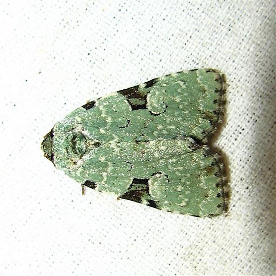 Leuconycta diphteroides - Hodges #9065 - Leuconycta diphteroides