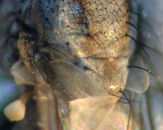 Small gray acalyptrate fly with scutum stripes - Leucopis
