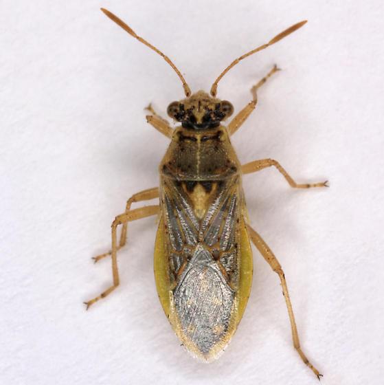 unknown Hemipteran - Brachycarenus tigrinus
