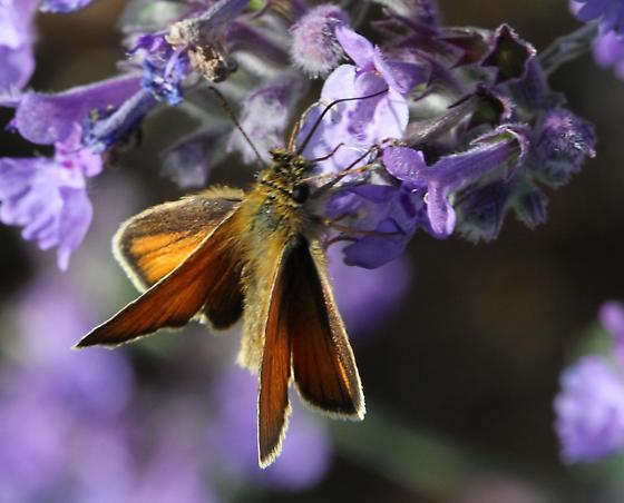 pollinator 12 dorsal view - Thymelicus lineola