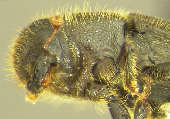 Hylurgus ligniperda (Fabricius) - Hylurgus ligniperda