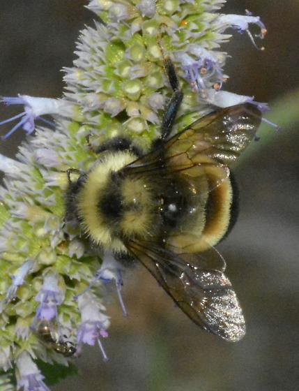 I think I got a Rusty-patched! - Bombus affinis