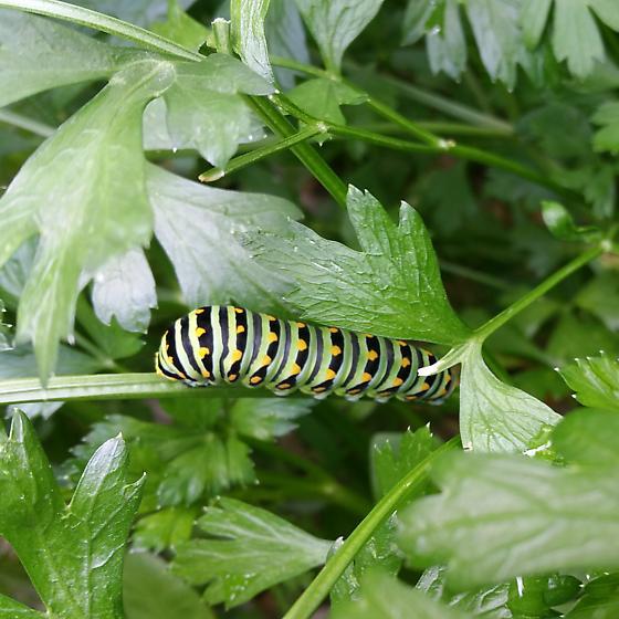 Swallowtail? - Papilio polyxenes
