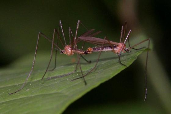 Crane Flies (mating) - male - female