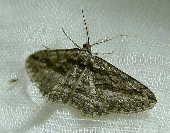 Lepidoptera - Hemimorina dissociata - male