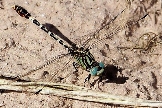 Serpent ringtail - Erpetogomphus lampropeltis - male