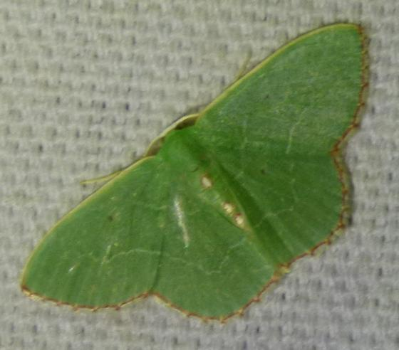 Nemoria lixaria - Red-bordered Emerald - Nemoria lixaria