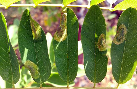 Locust tentiform leaf mines - Macrosaccus robiniella