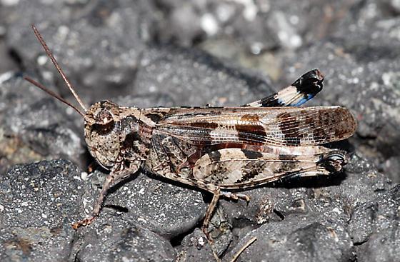 Acrididae: - Encoptolophus costalis - male