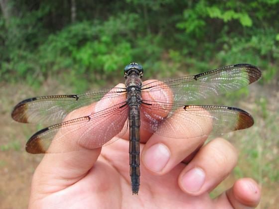 Blue-eyed dragonfly - Libellula vibrans