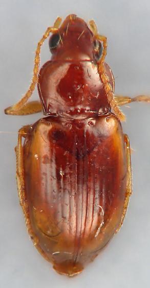 small carabid 9 - Elaphropus vivax