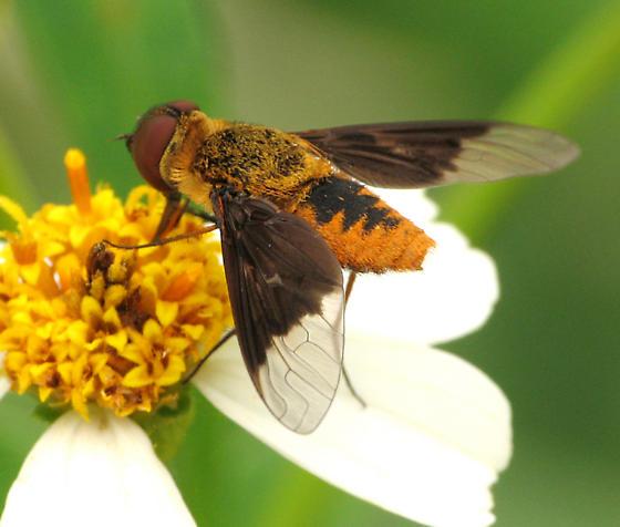 Beefly - Chrysanthrax cypris