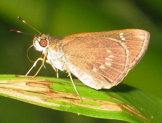 spotted skipper - Cymaenes tripunctus