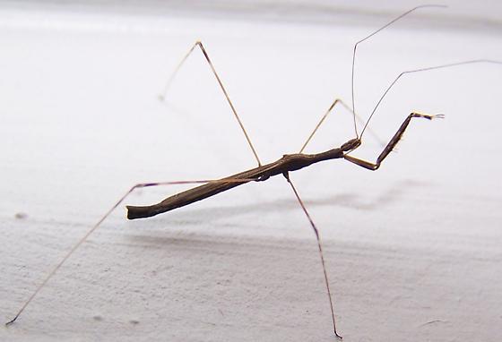 Walking Stick Stilt Bug Barce Fraterna Bugguide Net