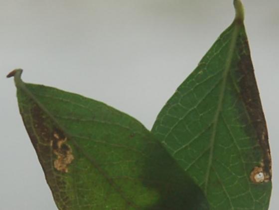 St. Andrews leaf miner on Vaccinium corymbosum SA648 2016 3 - Stigmella corylifoliella
