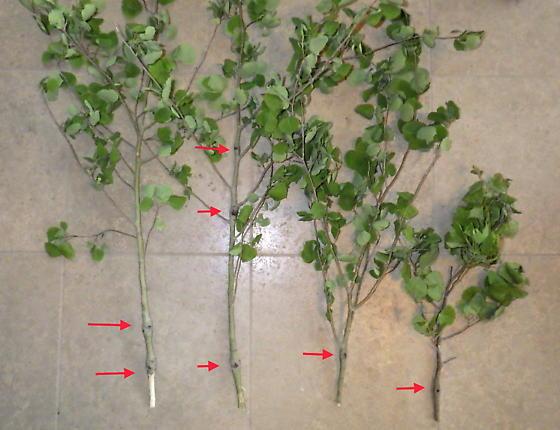 Sesiidae, stem swellings on Aspen, Dusky Clearwing - Paranthrene tabaniformis
