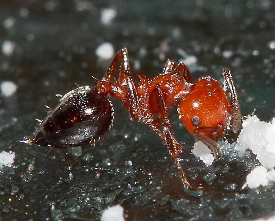 Ant - Crematogaster