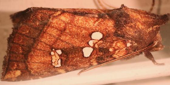 Papaipema arctivorens