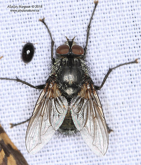 Oestroidea ? - Bellardia vulgaris - male