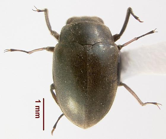 Lutrochus arizonicus