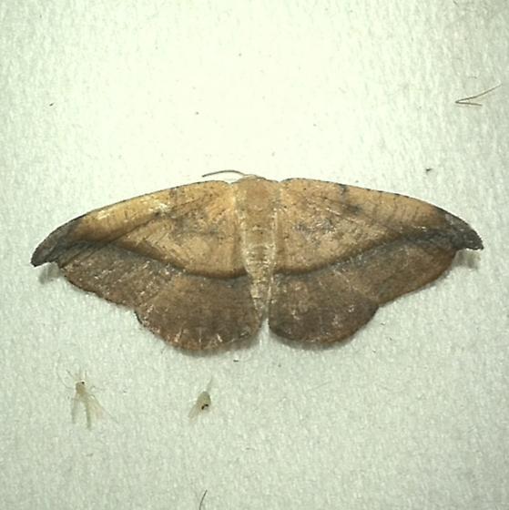 Patalene olyzonaria  - Patalene olyzonaria - female