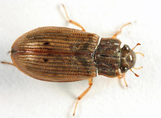 Hydrophilid - Helophorus grandis