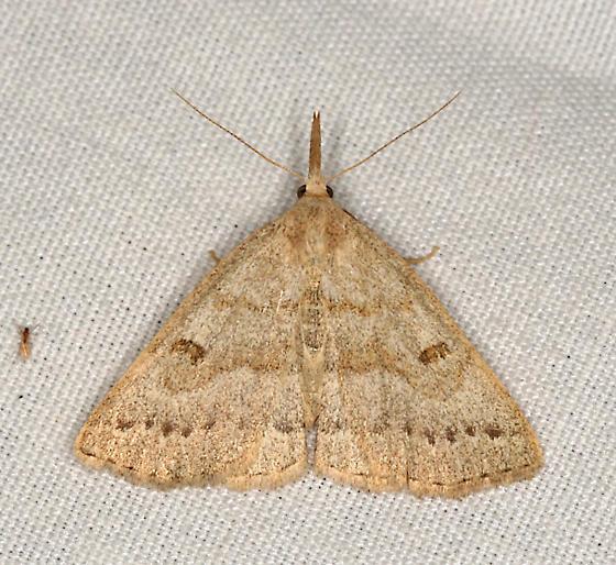 moth - Chytolita morbidalis