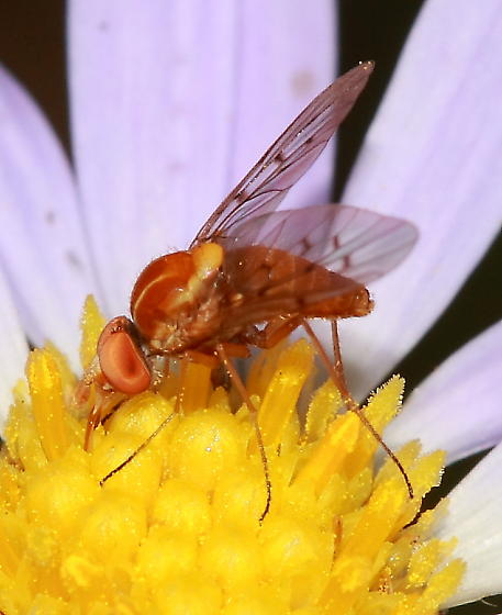 Fly - Poecilognathus unimaculatus